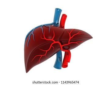 Human liver anatomy. 3d render