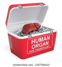 Human liver inside portable fridge for transporting donor organs, 3D rendering isolated on white background
