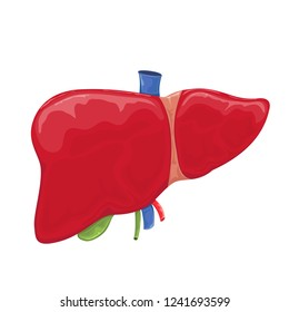 Human liver isolated on white background, illustration.