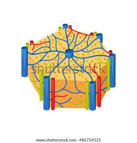 Human Liver Lobes Anatomy Medical Science Stock Illustration ...