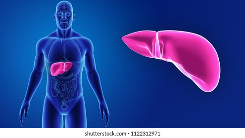 Human liver zoom with organs anterior view 3d illustration