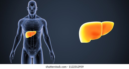 Human liver zoom with skeleton anterior view 3d illustration