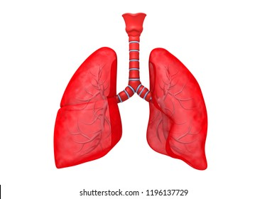 Human lungs anatomy. 3d render