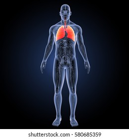 Human lungs anterior view 3d illustration