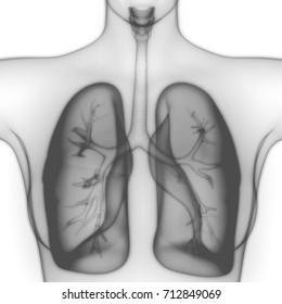 Human Lungs Inside Anatomy (Larynx, Trachea, Bronchioles). 3D