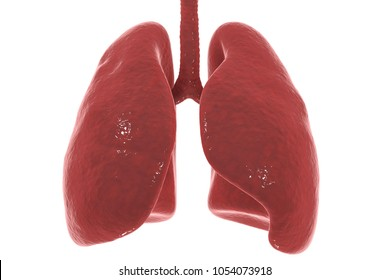Human lungs and trachea isolated on white background, 3D illustration