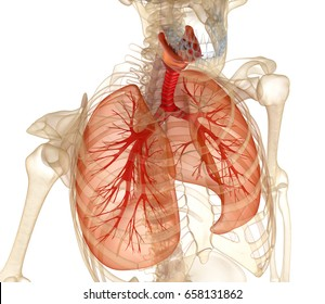 Human lungs, trachea and skeleton. Medically accurate 3D illustration