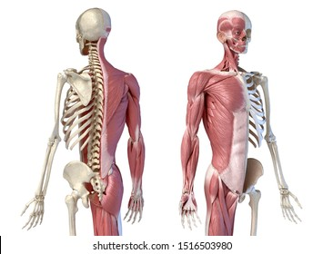 Human male anatomy, 3/4 figure muscular and skeletal systems, Front and rear perspective views. 3d illustration. On white background.