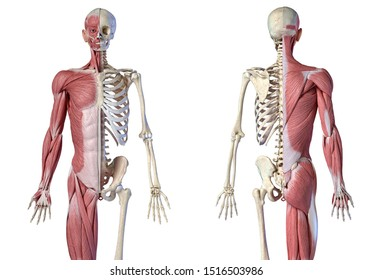 Human male anatomy, 3/4 figure muscular and skeletal systems, Front and rear views. 3d illustration. On white background.