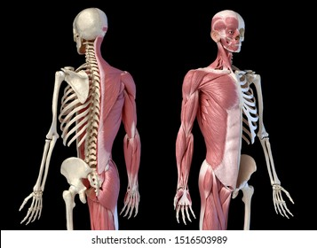 Human male anatomy, 3/4 figure muscular and skeletal systems, Front and rear perspective views. 3d illustration. On black background.