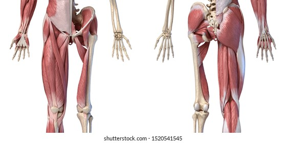 Human male anatomy, limbs and hip muscular and skeletal systems, with internal muscle layers. Front and back views, on white background. 3d  illustration.