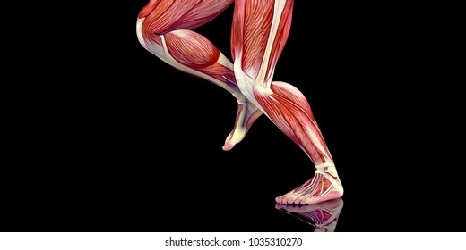 Human Male Body Anatomy Illustration with visible muscles and tendons