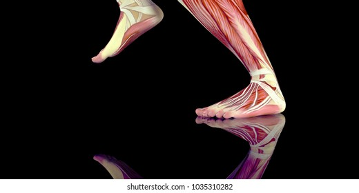 Muscle Anatomy Images, Stock Photos & Vectors | Shutterstock