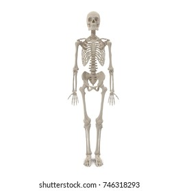 Human Male Skeleton standing pose on white. 3D illustration