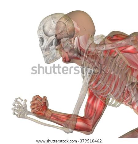 Human Man Male 3 D Anatomy Bones Stock Illustration 379510462