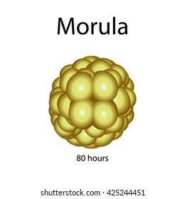 Human morula. illustration on isolated background