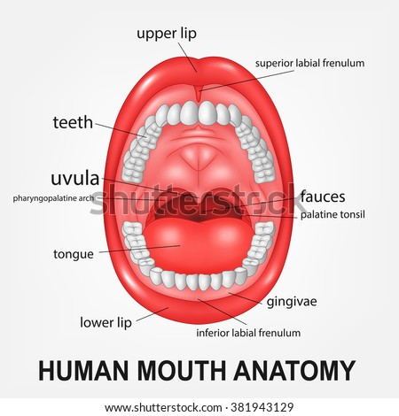 Human Mouth Anatomy Open Mouth Explaining Stock Illustration