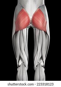 human muscle anatomy - gluteus maximus