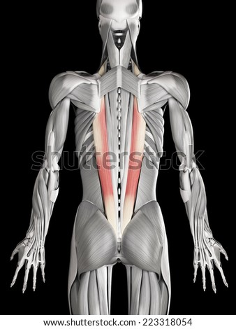 human muscle anatomy iliocostalis stock illustration 223318054