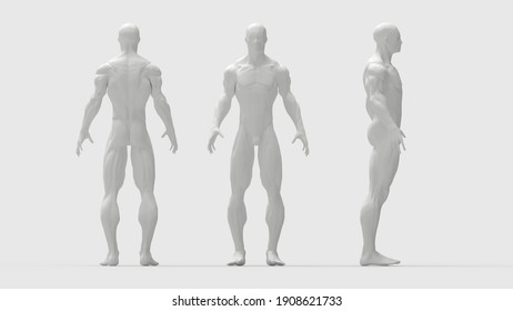 human muscles 3D rendering front side back view of a human being isolated in grey background