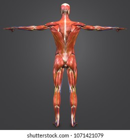 Human muscular anatomy with arteries veins and nerves posterior view 3d illustration