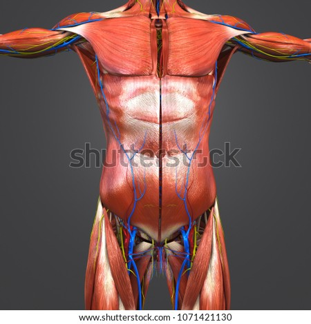 Human Muscular Anatomy Arteries Veins Nerves Stock Illustration