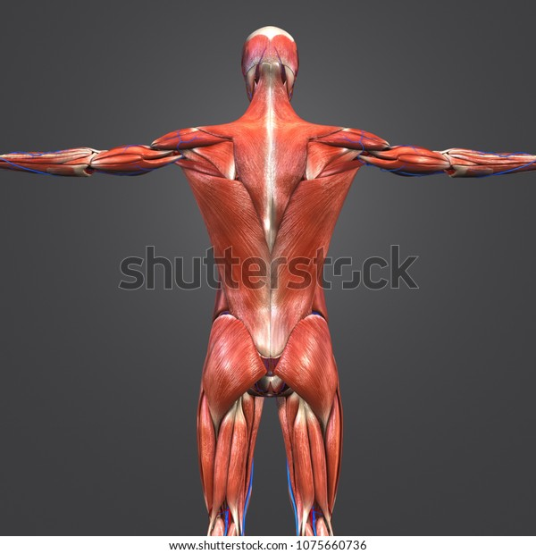 Human Muscular Anatomy Arteries Veins Posterior Stock