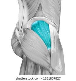 Human Muscular System Leg Muscles Gluteus Medius Muscle Anatomy. 3D