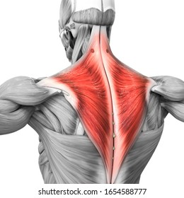 Human Muscular System Parts Trapezius Muscle Anatomy. 3D