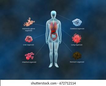 Human organoids