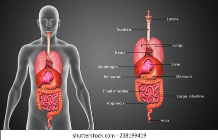 Human Internal Organ Images Stock Photos Vectors Shutterstock