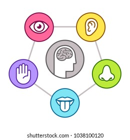 Human perception infographic scheme. Five senses (sight, smell, hearing, touch, taste) as represented by organs, surrounding brain. Line icon illustration set.