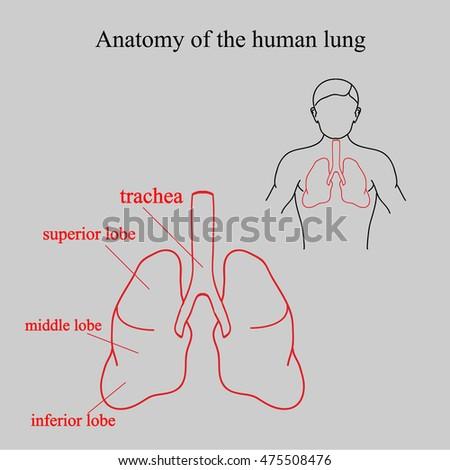 Human Respiratory System Anatomy Anatomy Human Stock Illustration ...