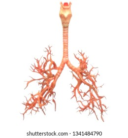 Human Respiratory System Larynx, Trachea, Bronchioles  Anatomy. 3D