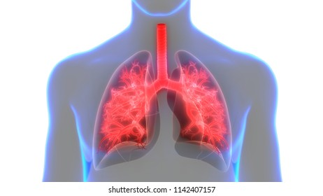 Respiratory System Images Stock Photos Vectors Shutterstock