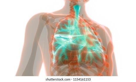 Human Body Anatomy Images Stock Photos Vectors Shutterstock