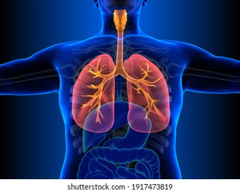 Human Respiratory System Lungs Anatomy. 3D illustration