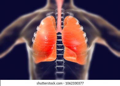 Human respiratory system, lungs, trachea, larynx and male body silhouette with skeleton, realistic 3D illustration