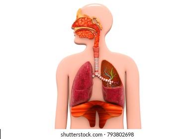 Human Respiratory System.3d render