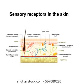 human sensory system in the skin. Pressure, vibration, temperature, pain and itching are transmitted via special receptory organs and nerves