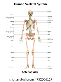Human Skeletal System Anatomy with Detailed Labels Anterior View. 3D