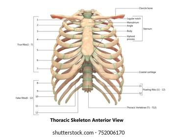 Human Skeletal System (Thoracic Skeleton) Anatomy with Detailed Labels Anterior view. 3D