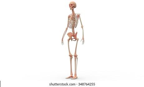 3d Human Skeleton Images, Stock Photos & Vectors   Shutterstock