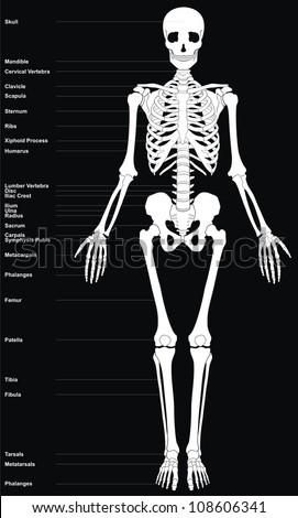 Royalty Free Stock Illustration of Human Skeleton All Major Bones ...
