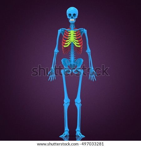 Human Skeleton Anatomy 3 D Illustration Stock Illustration 497033281