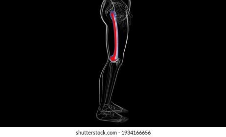 Human skeleton anatomy Femur Bone 3D Rendering For Medical Concept