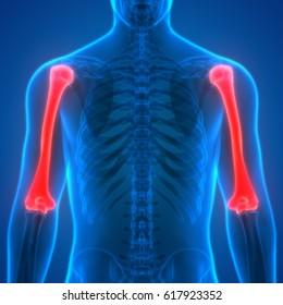 Human Skeleton Anatomy (Humerus) Posterior view. 3D