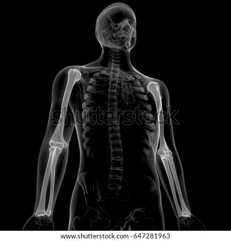 Human Skeleton Anatomy Humerus Radius Ulna Stock Illustration
