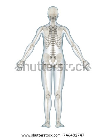 Human Skeleton Anatomy Isolated Back View Stock Illustration ...