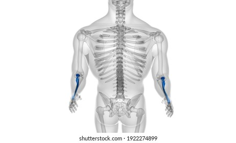 Human skeleton anatomy Radius Bone 3D Rendering For Medical Concept